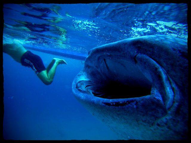 Oslob whale shark cebu tours